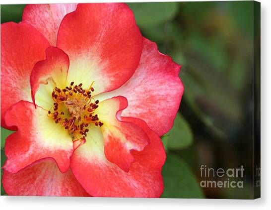 Full Bloom Canvas Print by Jeannie Burleson