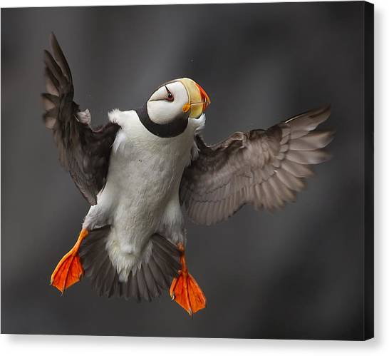 Puffins Canvas Print - Full Flaps ! by Alfred Forns
