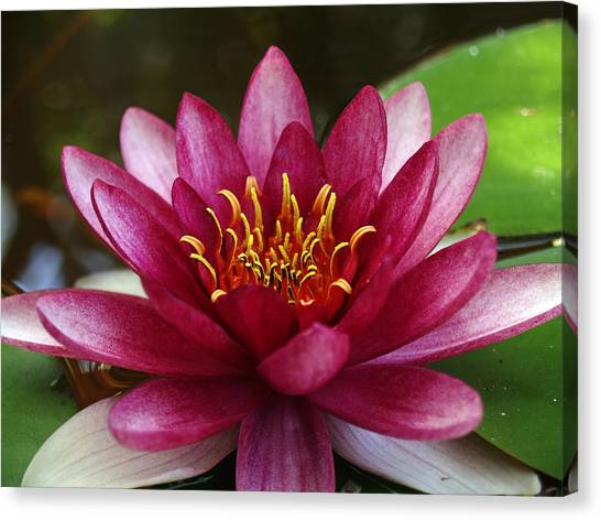 Full Lotus Canvas Print by James Granberry