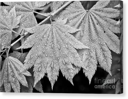 Full Moon Maple Leaf After A Spring Rain Canvas Print