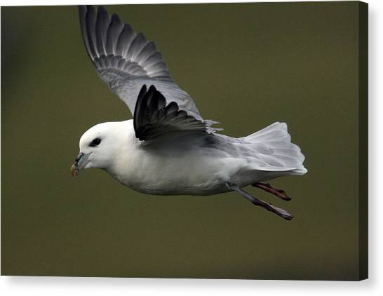 Fulmar In Flight Canvas Print