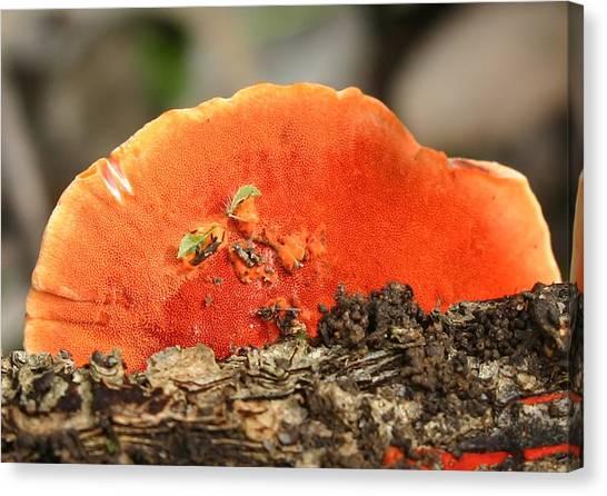 Fungi Pycnoporus Coccineus Canvas Print