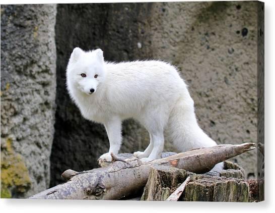 Furry Arctic Fox  Canvas Print