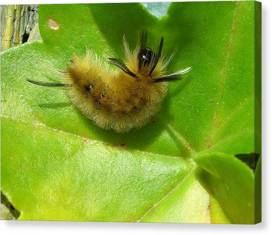 Caterpillers Canvas Print - Furry Little Guy by Nancie DeMellia