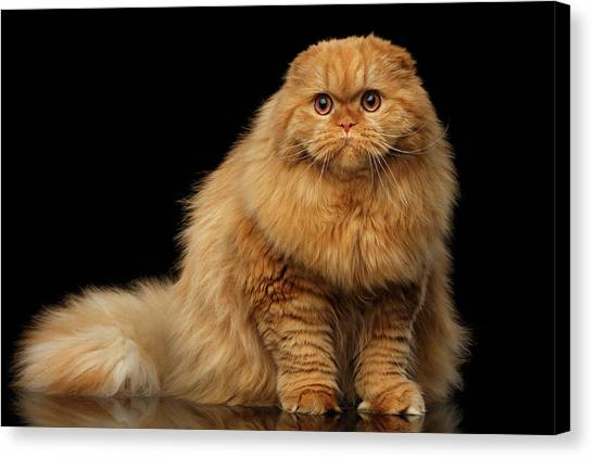Scottish Folds Canvas Print - Furry Scottish Fold Cat by Sergey Taran