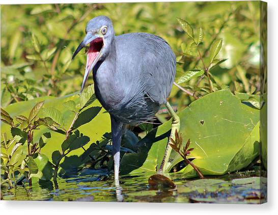 Fussy Little Blue Heron Canvas Print