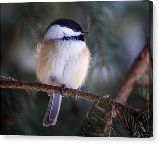 Fuzzy Chickadee Canvas Print