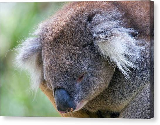Koala Canvas Print - Fuzzy by Mike  Dawson