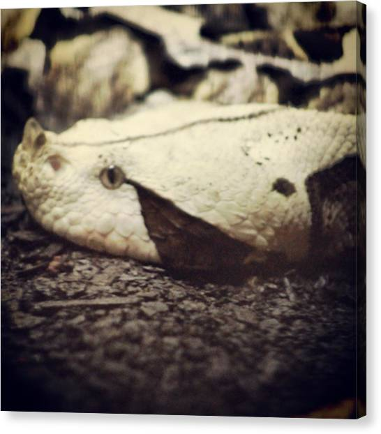 Vipers Canvas Print - Gaboon Viper #bitisgabonica #reptile by Chris Reid