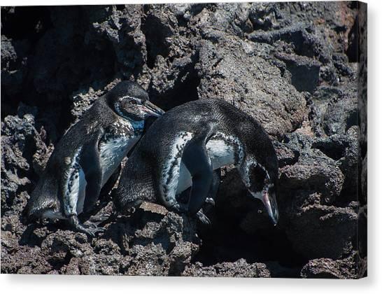 Galapagos Penguins  Bartelome Bartholomew Island Galapagos Islands Canvas Print