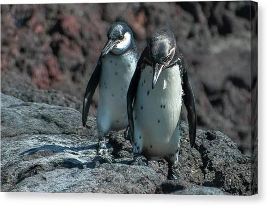 Galapagos Penguins  Bartelome Island Galapagos Islands Canvas Print