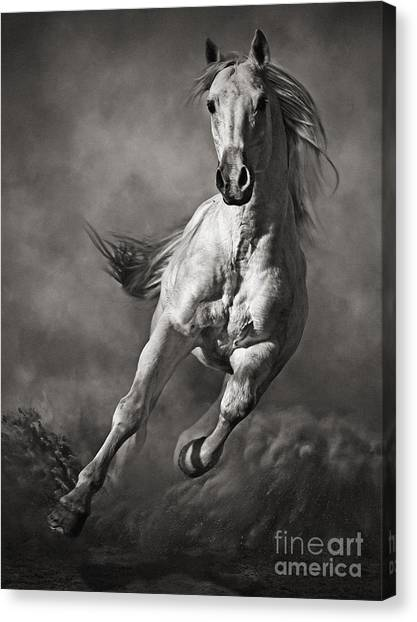 Galloping White Horse In Dust Canvas Print