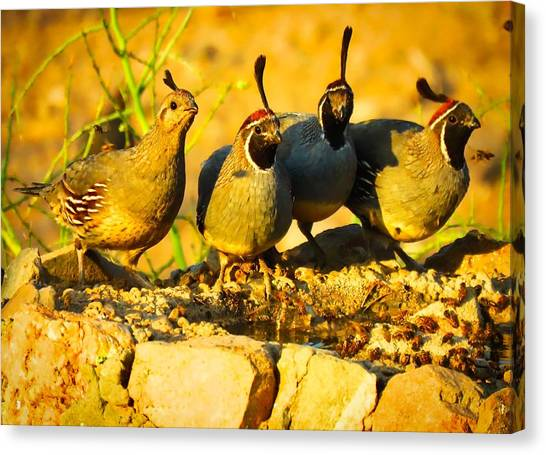 Gambel's Quail Foursome Canvas Print