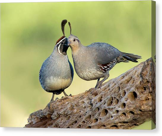 Gambels Quails In Love Canvas Print