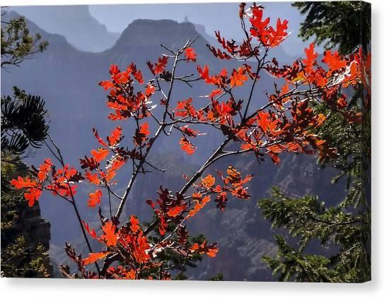 Gamble Oak In Crimson Fall Splendor Canvas Print