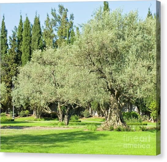 Olive Garden Canvas Prints (Page #12 of 14) | Fine Art America