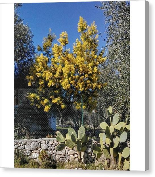 Mimosa Canvas Print - #gargano #mimosa #tree by Michele Stuppiello