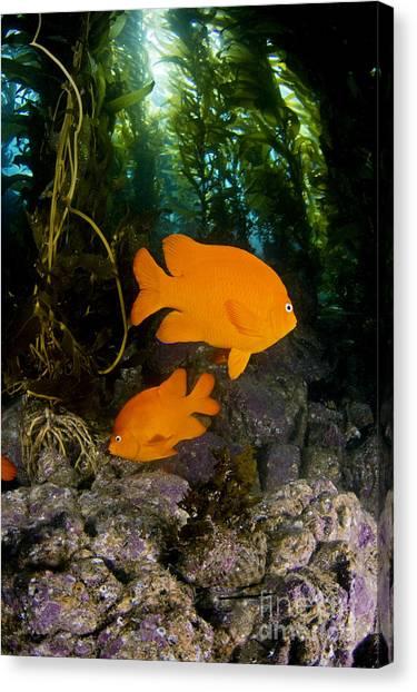Kelp Forest Canvas Print - Garibaldi And Kelp by Dave Fleetham - Printscapes