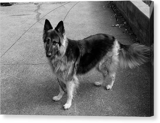 German Shepherds Canvas Print - Gatekeeper by Frank J Casella