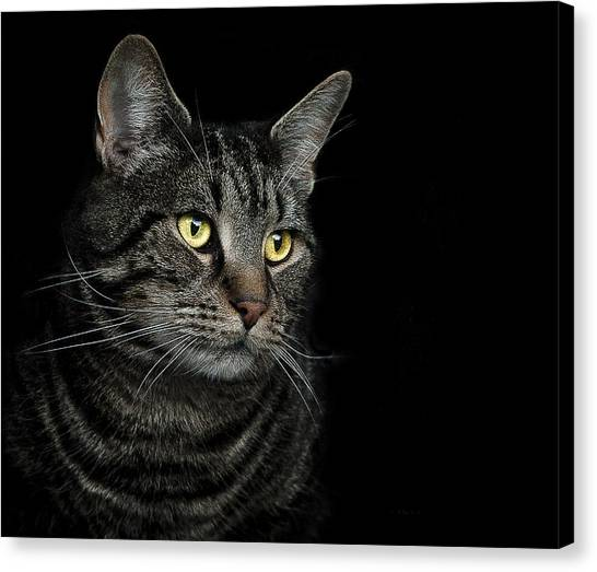 Cat Canvas Print - Gaze  by Paul Neville