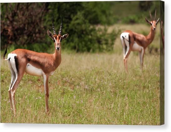 Gazelles Canvas Print