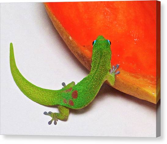 Gecko Eating Papaya Canvas Print