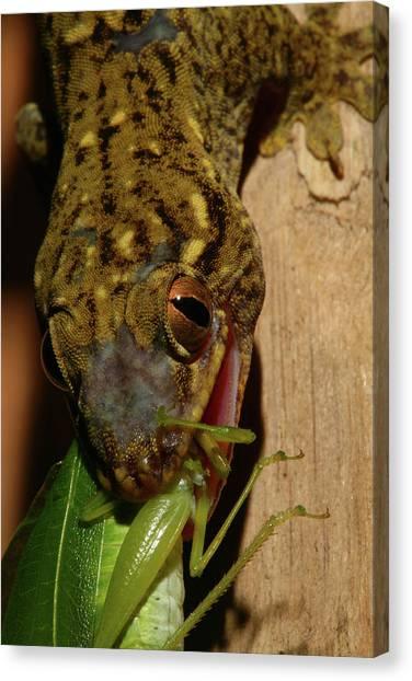 Gecko Feed Canvas Print