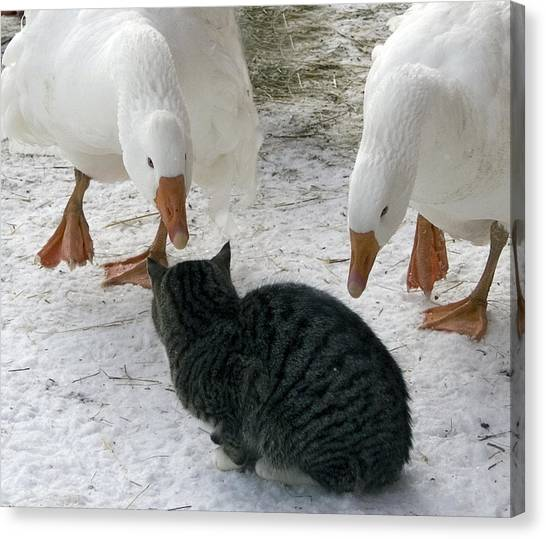 Geese Double Team The Barn Cat Canvas Print by Laurie With