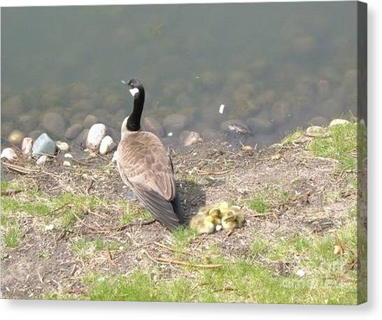 Geese Family Canvas Print by DebiJeen Pencils