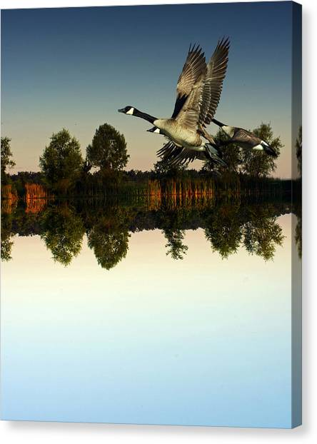 Brown Towhee Canvas Print - Geese Flynig Over Evening Pond by Ron Kruger