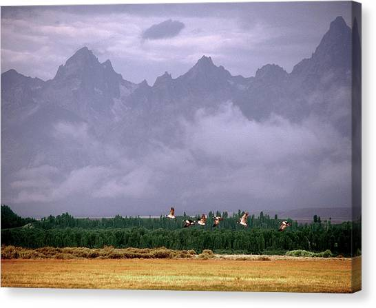 Geese, Grand Tetons Canvas Print