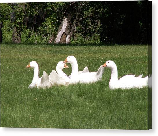 Geese In The Grass Canvas Print