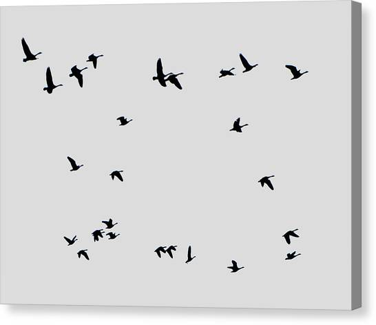 Geese Taking Off Canvas Print by Richard Singleton