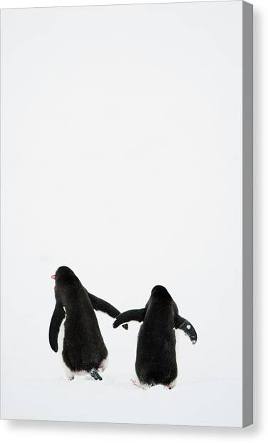 Penguins Canvas Print - Gentoo Penguin (pygoscelis Papua) by Elliott Neep