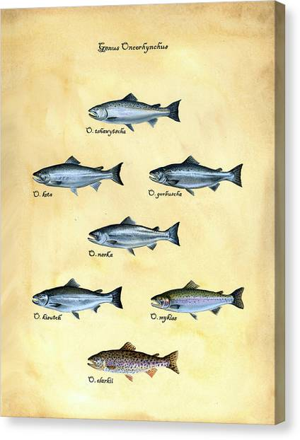 Canvas Print - Genus Oncorhynchus by Logan Parsons