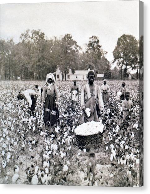 Georgia Cotton Field - C 1898 Canvas Print