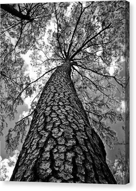 Georgia Pine Canvas Print