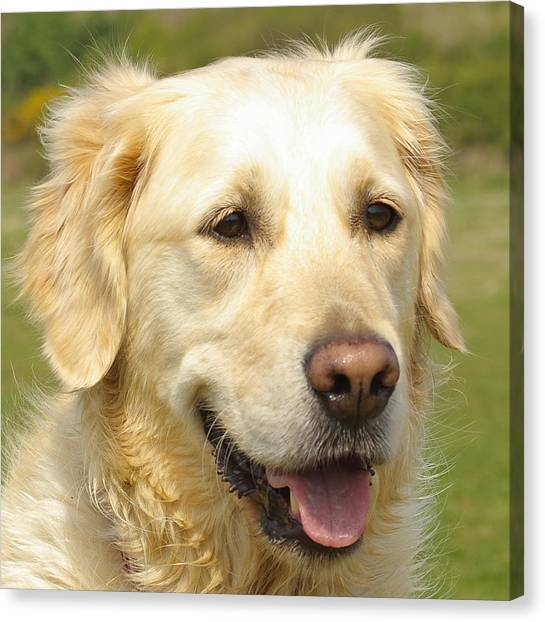 Georgie The Golden Retriever Canvas Print by Hilary Burt