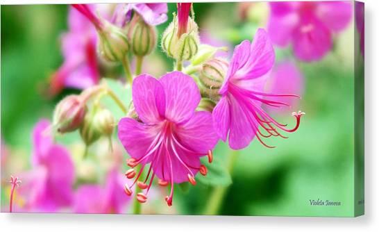 Violeta Canvas Print - Geranium Flowers by Violeta Ianeva