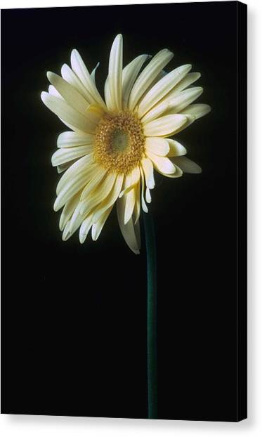 Daisy Canvas Print - Gerber Daisy by Laurie Paci
