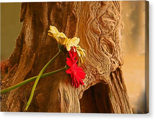 Gerber Daisy On Driftwod Canvas Print