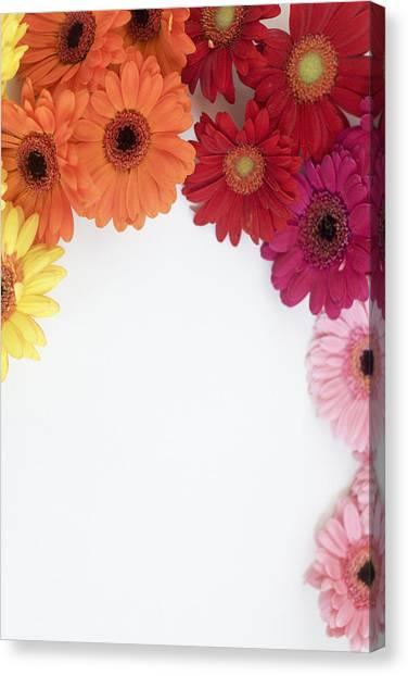 Gerbera Blooms Framed Canvas Print