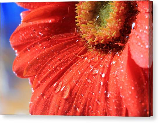 Gerbera Daisy After The Rain Canvas Print
