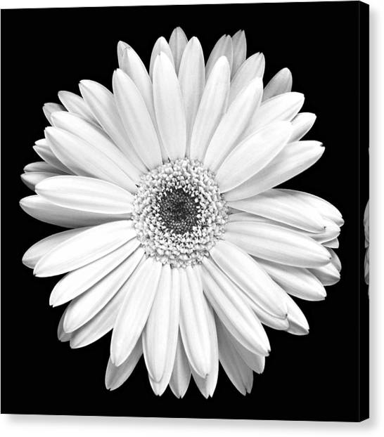 Floral Canvas Print - Single Gerbera Daisy by Marilyn Hunt