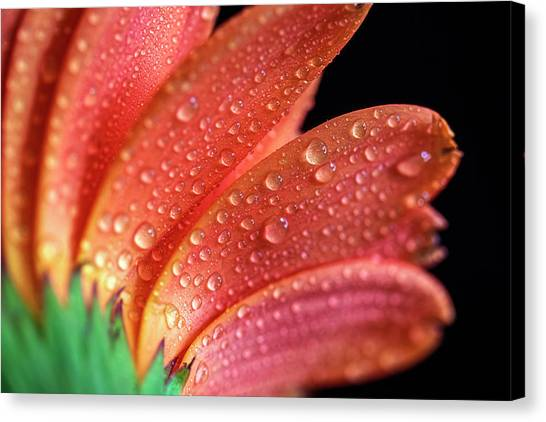 Gerbera Dew Canvas Print