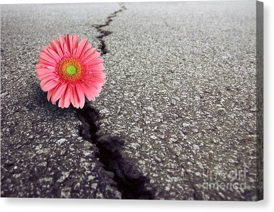 Rebirth Canvas Print - Gerbera On Asphalt by Carlos Caetano