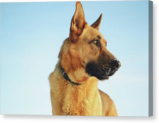 German Shepherds Canvas Print - German Shepherd by Billy Soden