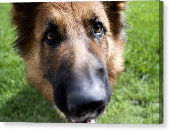 German Shepherds Canvas Print - German Shepherd Dog by Fabrizio Troiani