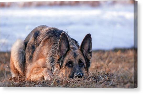 German Shepherds Canvas Print - German Shepherd by Maye Loeser