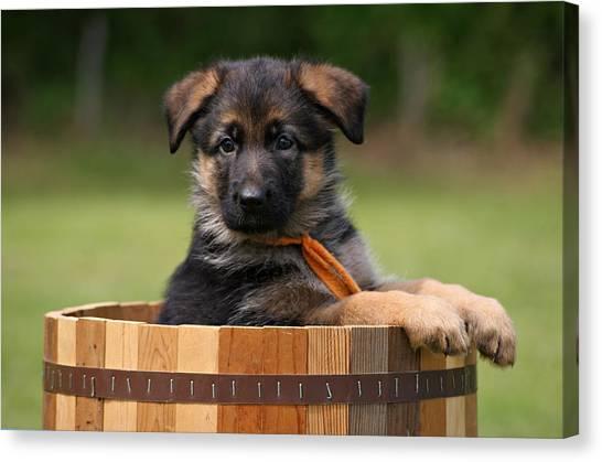 German Shepherd Puppy In Planter Canvas Print
